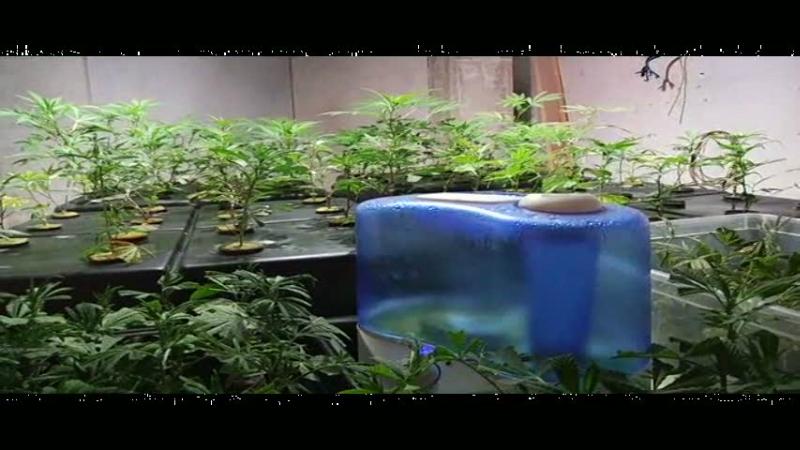 La serra di marijuana